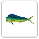 Dorado,  Mahi,  or Dolphin Fishing Guide in Fort Lauderdale