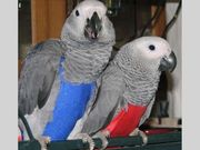Extra Sweet African Grey Parrots for new homes